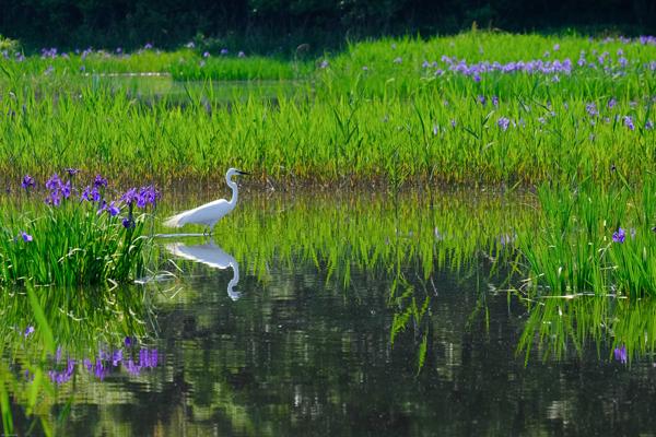 小堤西池の杜若群生